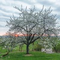 Orchard_Serendipity.jpg